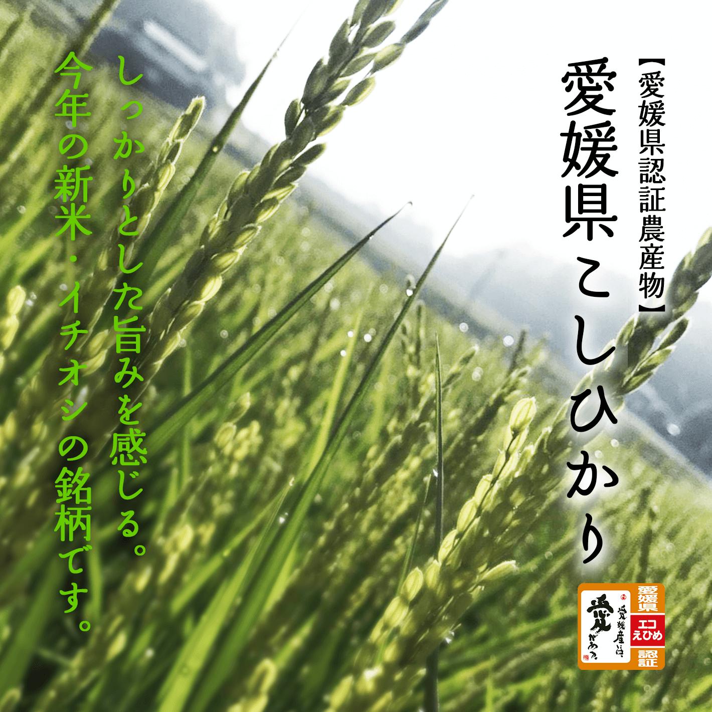 【愛媛県認証農産物】愛媛県こしひかり。しっかりとした旨みを感じる。今年新米・イチオシの銘柄です。