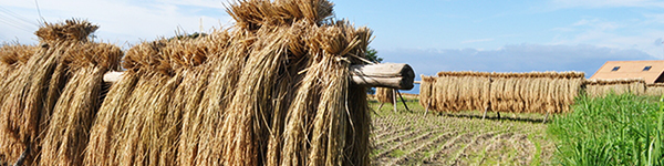 天日乾燥のお米